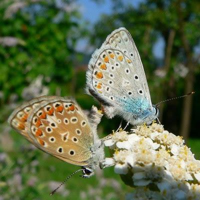 Blue butterfly sex