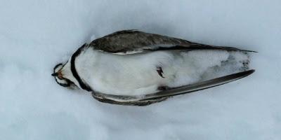 Død fugl, på et koldt leje