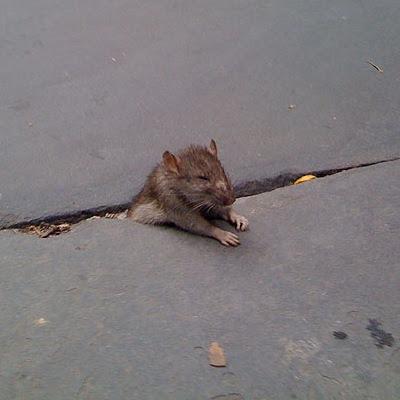 En død rotte