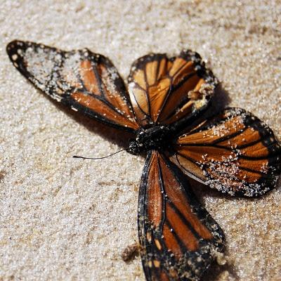 Død monark sommerfugl skyllet op på strand