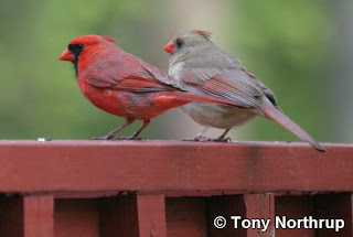 Two red birds