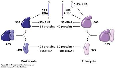 figure+22 12 sandwalk ribosomal rna genes in bacteria