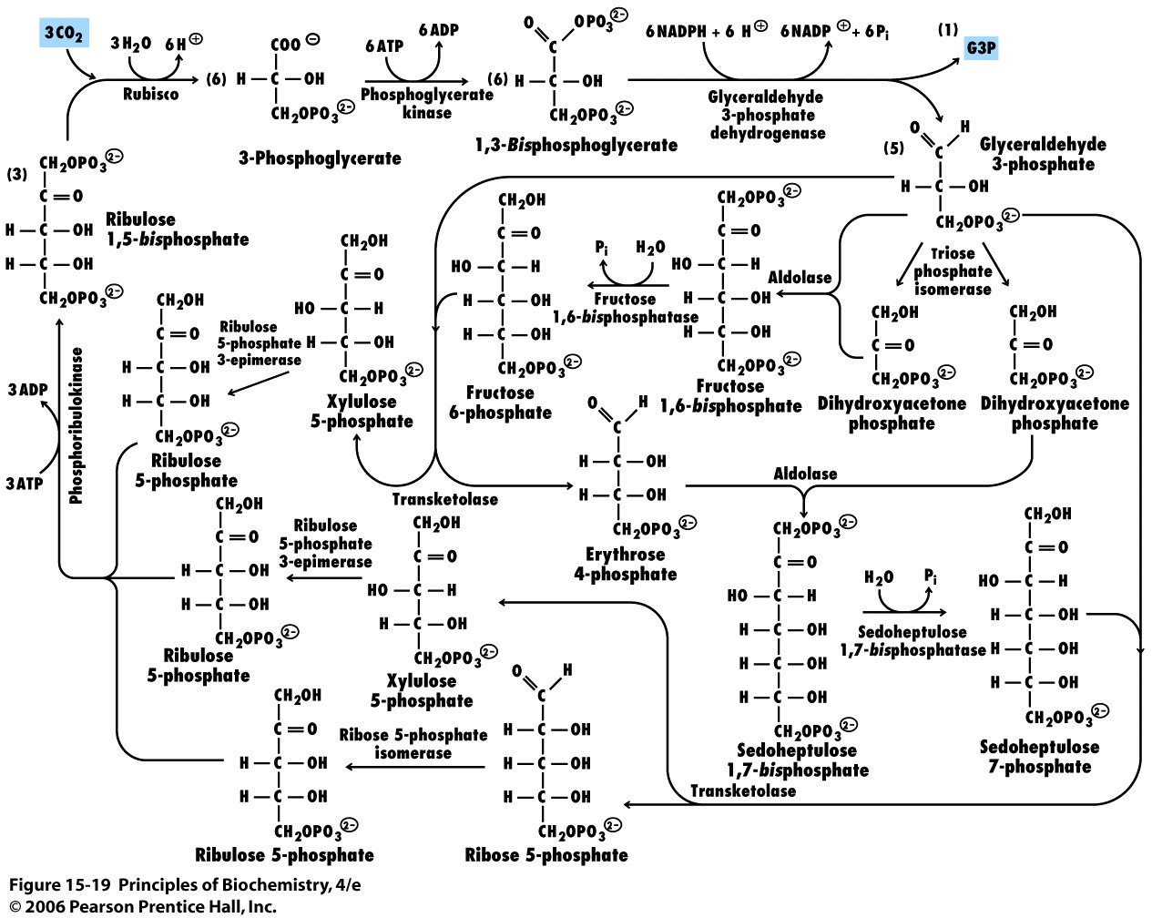 the calvin cycle The calvin cycle is a metabolic process that occurs in the chloroplasts of plant cells its main function is to create sugar from carbon dioxide for the plant to use as a source of energy plants obtain all of their energy from the sun each plant cell has a small organelle known as a chloroplast.