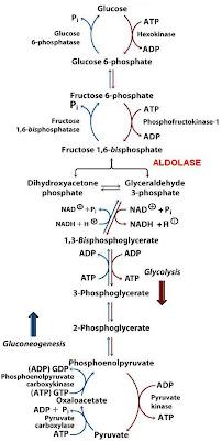 Sandwalk: Aldolase in Gluconeogenesis & Glycolysis