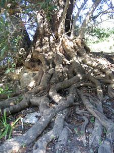 Alfarrobeira centenária (Algarve)