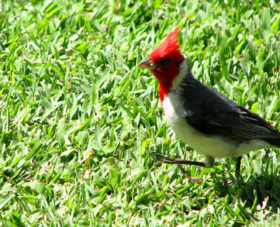 Brazilian or Red-crested Cardinal, Maui, Hawaii