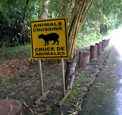 Capybara Crossing, Panama