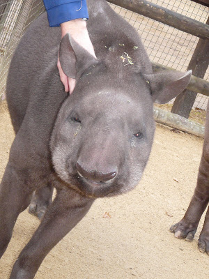 Lowland tapir at Cotswold Wildlife Park, 2008, by Sarah Cooper