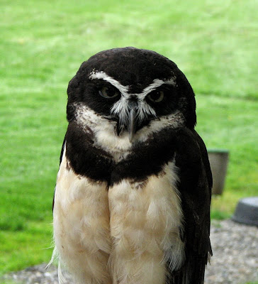 Spectacled Owl at Woodland Park Zoo