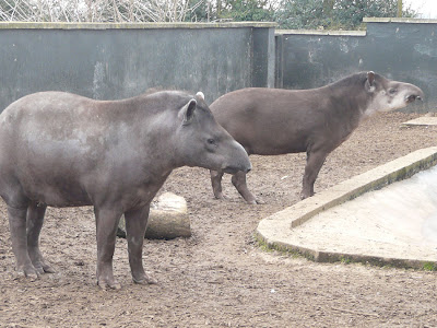 Lowland Tapirs at Twycross Zoo, England, by Sarah Cooper