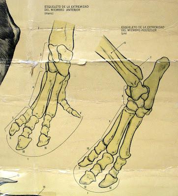 Bones of a lowland tapir's foot, tapir skeleton foot