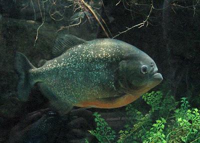A Piranha at Woodland Park Zoo