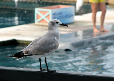 Seagull at Miami Seaquarium