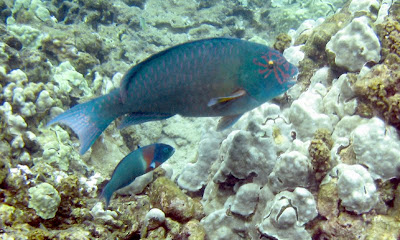 Star-eyed Parrotfish and Saddle Wrasse, Maui, Hawaii