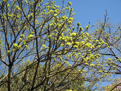 Green blossoms on a tree