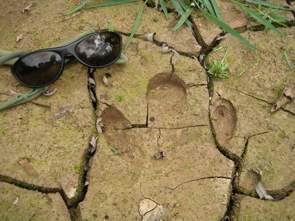 Baird's tapir footprint in Belize, by Sheryl Todd