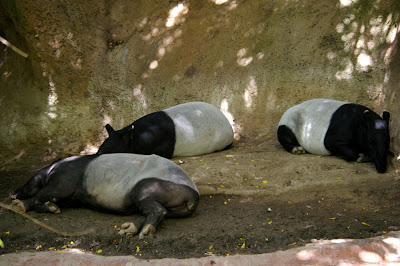 Sleeping Malayan tapirs at the Singapore Zoo, by Annemarie Hasnain