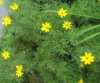 Yellow Dahlberg Daisies