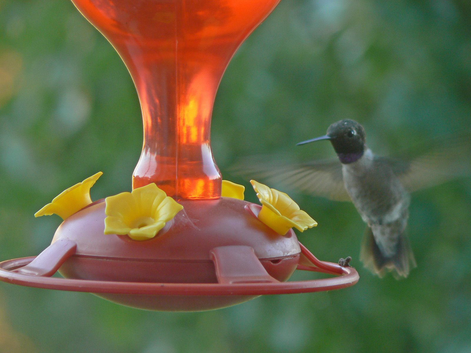 [black-chinned+Hummingbird]