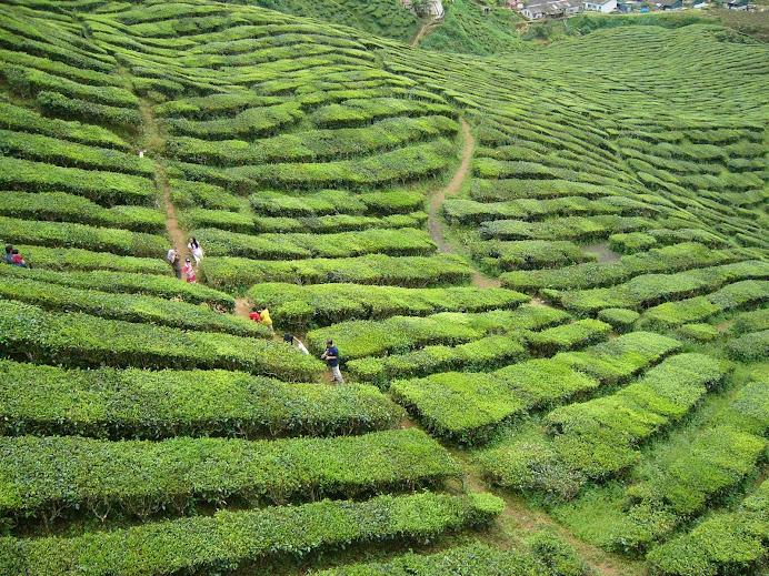 penorama ladang teh cameron highland