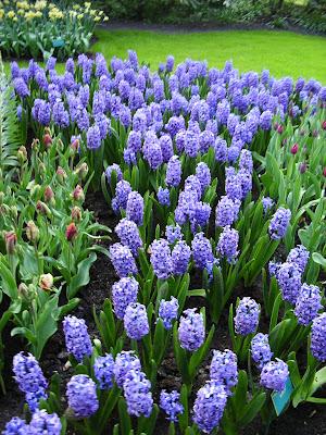 Flori albastre Olanda