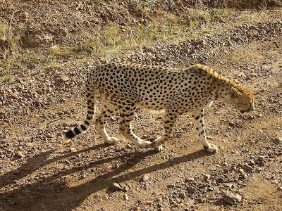 Imagini safari: ghepard in Masai Mara