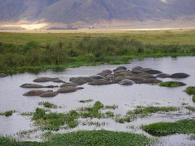 Safari Tanzania: hipopotami in Ngorongoro
