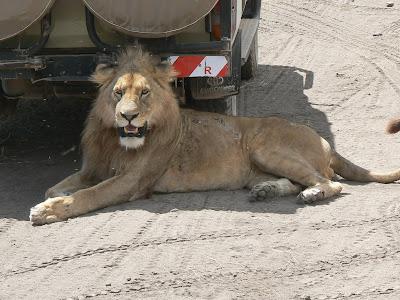 Safari Tanzania: leu in Ngorongoro