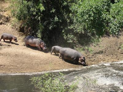 Safari Serengeti Tanzania: hipopotami spre apa