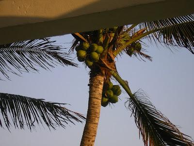 Cazare Mexic: hotel Hyatt Cancun nuci de cocos