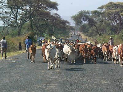 Imagini Etiopia; vaci pe sosea