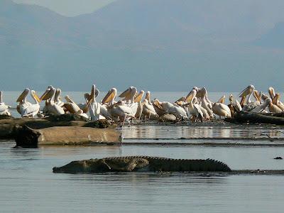 Imagini Etiopia: lacul Chamo, pelicani