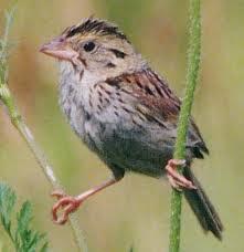burung pipit ini ada beberapa macam burung pipi kepala