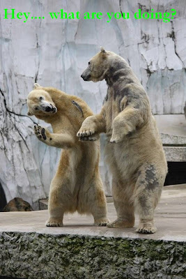 funny photo of two polar bears which dance, with a fish seems to be escaping. 跳舞的北极熊搞笑图片,外加一条逃跑当中的鱼.