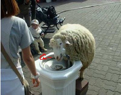 Funny Sheep: Drink water from water tap