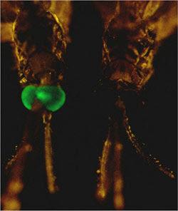 Ujikaji Lapangan Nyamuk Transgenik Dijangka Bermula Disember