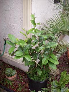Papaya Tree Tolerant To Ring Spot