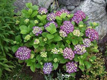 Hortensia dag for dag