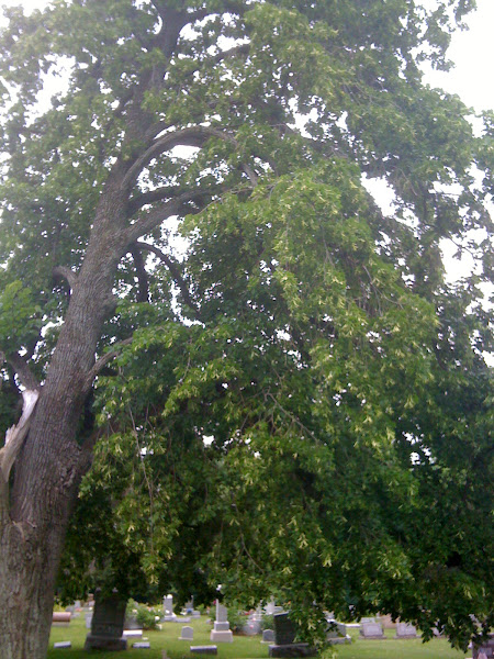 Linden Tree in Montrose Cemetary