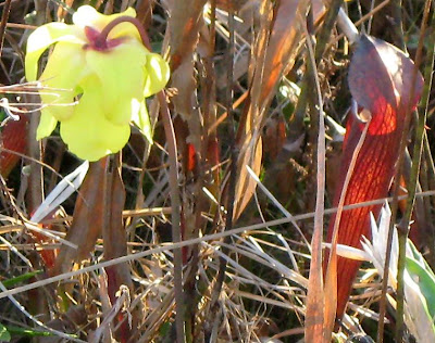 [Image: Yellow+and+red+pitcher+plants.JPG]