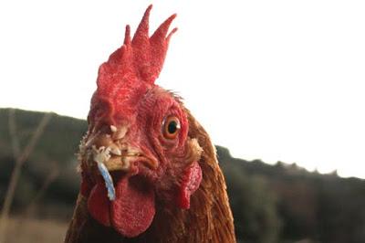 gallina de mirada inteligente con hilo colgando del pico