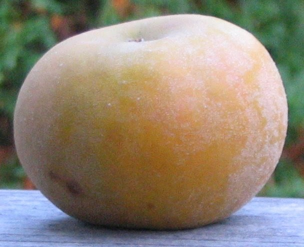 pomme calville blanche