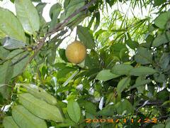 Pala Tree