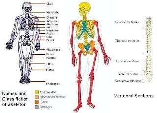 Topik : Anatomi dan Fisiologi - Sains Sukan STPM Kertas 1 (966/1)