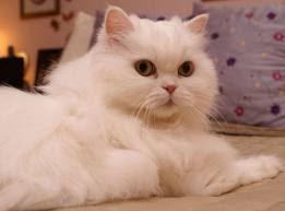 Kecil Peluang Kucing Sebabkan Toksoplasmosis