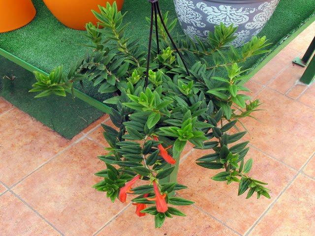 Jardin del mundo plantas colgantes - Plantas crasas colgantes ...