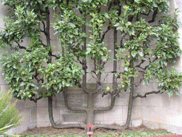 once the leaves on my trees come out, i'll post some more pictures.: www.inspiredbycharm.com/2010/03/a-lesson-in-espalier.html