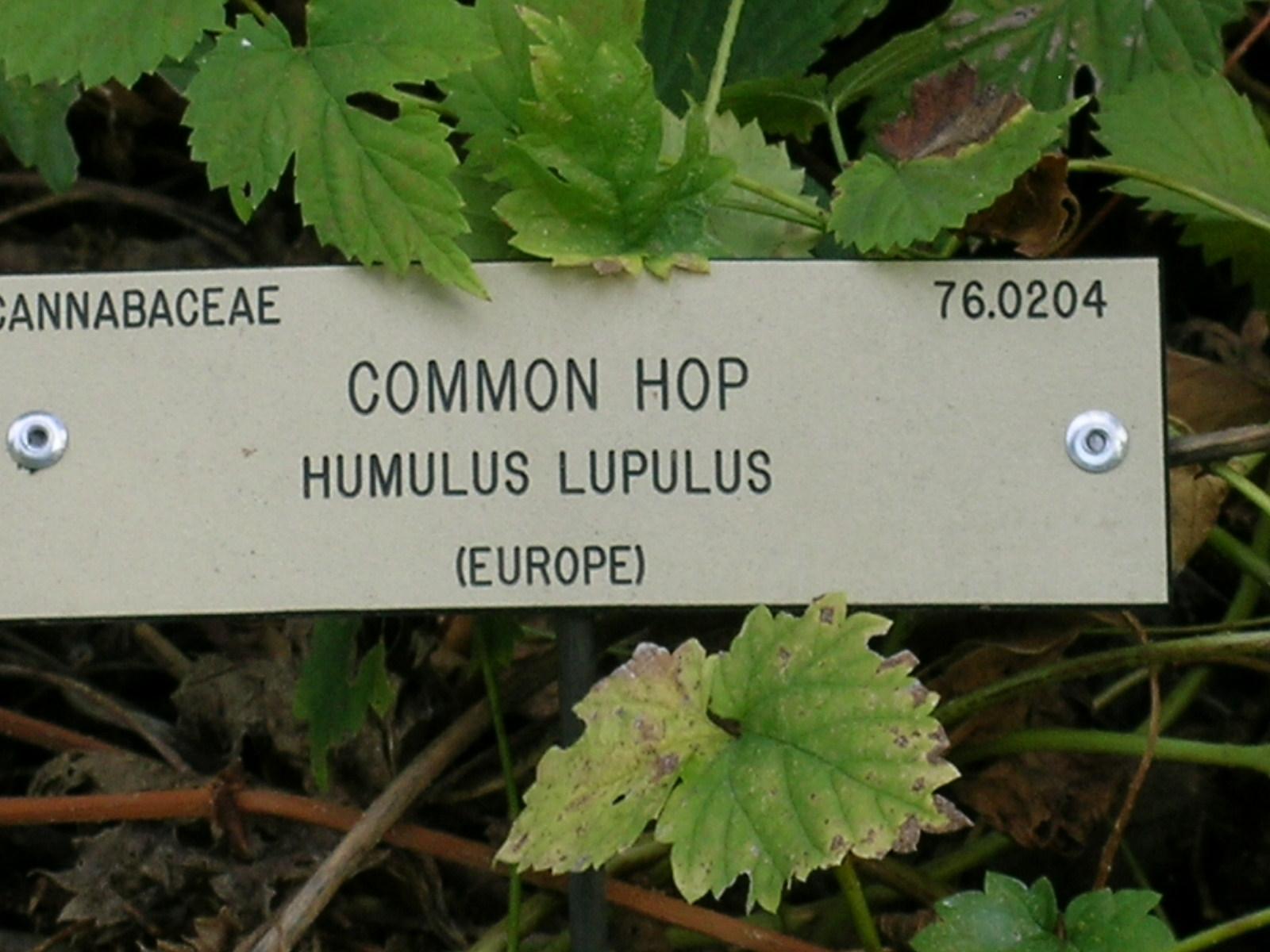 Berkeley Butterfly Blog: Humulus lupulus--Common Hop--Cannabaceae