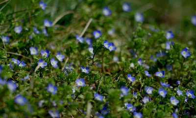 I Don T Know The Name Of This Tiny Blue Wild Flowers But They Are First One To Bloom On South Facing Slope Thousands Them Little