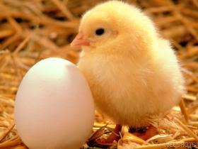 huevo y pollito